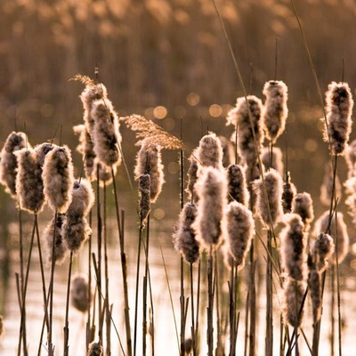 Reeds Back Light Wall Art & Canvas Prints by Assaf Frank