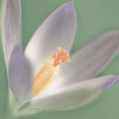 Close-up of Crocus Fine Art Print by Assaf Frank