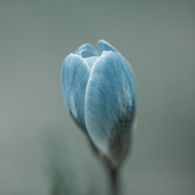 Profile of a Blue Crocus Fine Art Print by Assaf Frank