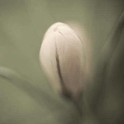Crocus in the Garden Fine Art Print by Assaf Frank