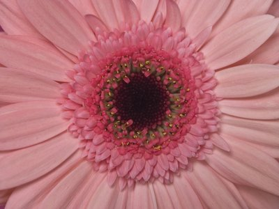 Extreme close-up of Gerbera daisy, full frame Wall Art & Canvas Prints by Assaf Frank