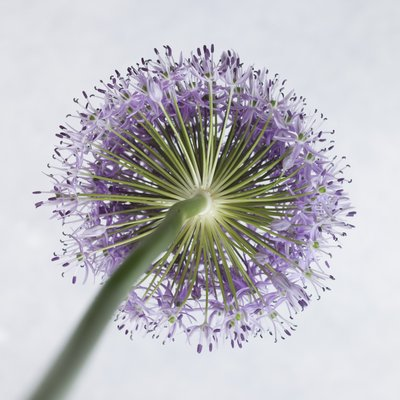 Allium flower, close-up Wall Art & Canvas Prints by Assaf Frank
