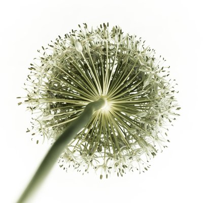 Green allium flower, close-up Fine Art Print by Assaf Frank