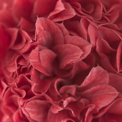 Red camellia (Camellia japonica), close-up Fine Art Print by Assaf Frank