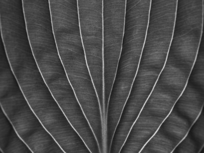Extreme close-up of hosta leaf, full frame Postcards, Greetings Cards, Art Prints, Canvas, Framed Pictures, T-shirts & Wall Art by Assaf Frank