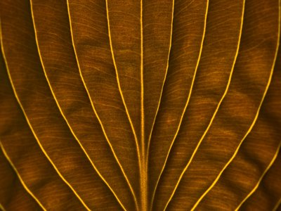 Extreme close-up of hosta leaf, full frame Wall Art & Canvas Prints by Assaf Frank
