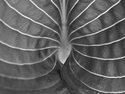 Extreme close-up of hosta leaf, full frame (B&W) Postcards, Greetings Cards, Art Prints, Canvas, Framed Pictures, T-shirts & Wall Art by Assaf Frank