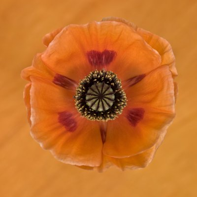 Close-up of orange oriental poppy on patterned background Fine Art Print by Assaf Frank