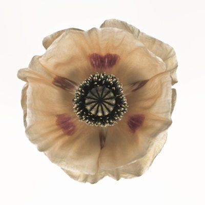 Close-up of oriental poppy Fine Art Print by Assaf Frank