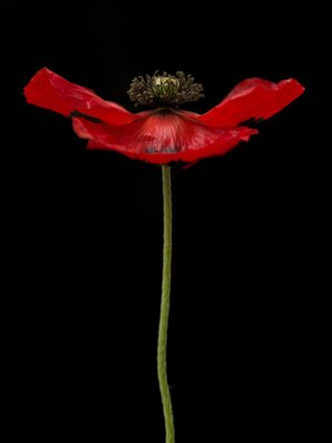 Red poppy, close-up Wall Art & Canvas Prints by Assaf Frank