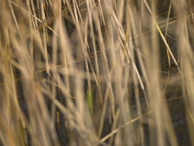 Reeds close-up Fine Art Print by Assaf Frank
