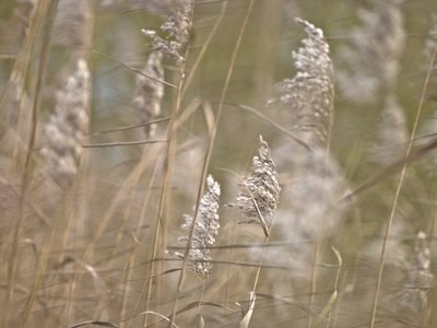 Reed plants close-up Wall Art & Canvas Prints by Assaf Frank