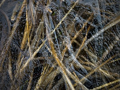 Grass under frozen ice Fine Art Print by Assaf Frank