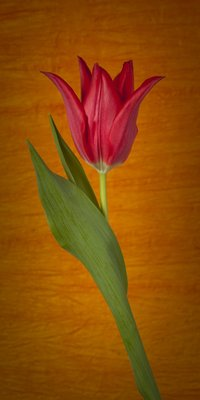 Single Moneymaker Tulip Wall Art & Canvas Prints by Assaf Frank