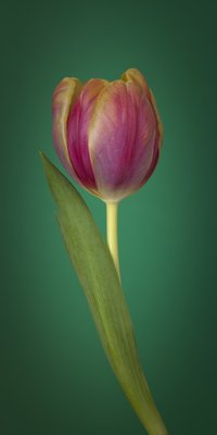 Single Tulip Flower, Side View Wall Art & Canvas Prints by Assaf Frank