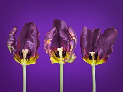 Three rococ tulip flowers Wall Art & Canvas Prints by Assaf Frank