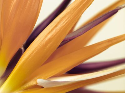 Heliconia flower close-up Wall Art & Canvas Prints by Assaf Frank