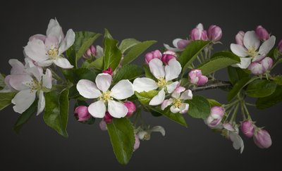 Apple Blossom Wall Art & Canvas Prints by Assaf Frank