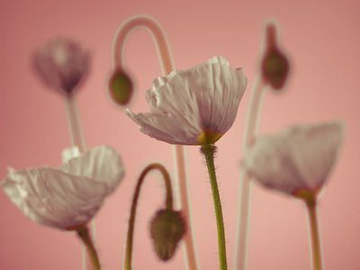 Poppy flowers and buds, close-up Wall Art & Canvas Prints by Assaf Frank