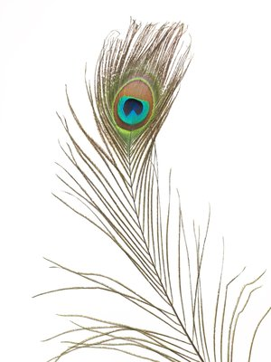 Single Peacock feather Fine Art Print by Assaf Frank