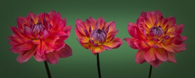 Three Dahlia flowers Wall Art & Canvas Prints by Assaf Frank