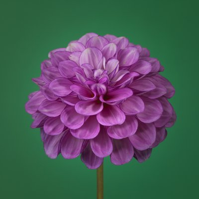 Dahlia Flower Wall Art & Canvas Prints by Assaf Frank