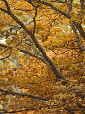 Branches and leaves with autumn colours Wall Art & Canvas Prints by Assaf Frank