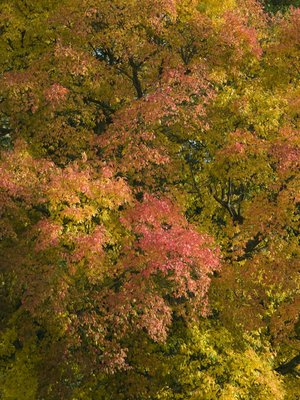 Tree canopy with autumn colours Wall Art & Canvas Prints by Assaf Frank