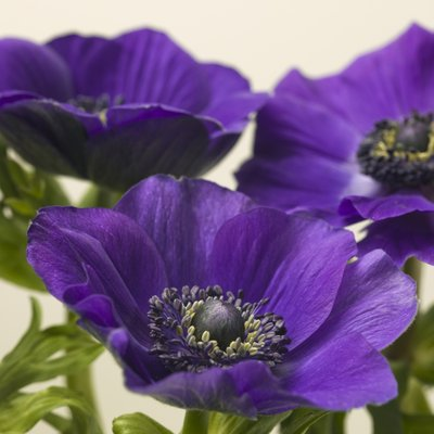 Purpule Anemone folwers Wall Art & Canvas Prints by Assaf Frank