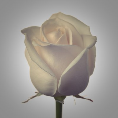 White Rose Wall Art & Canvas Prints by Assaf Frank