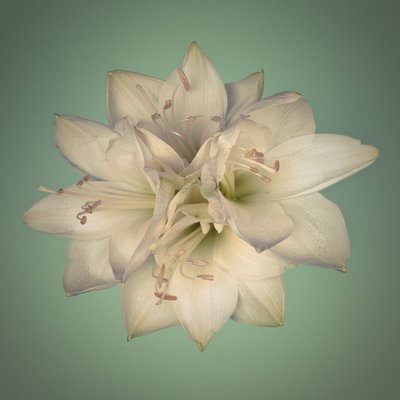 Star shape amaryllis flowers Fine Art Print by Assaf Frank