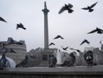 Close-up of pigeon at Trafalgar Square Wall Art & Canvas Prints by Assaf Frank