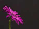 Pink Gerber Daisy Wall Art & Canvas Prints by Assaf Frank