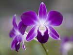 Malaysia, Borneo, Close-up of orchid flower Fine Art Print by Assaf Frank
