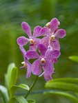 Malaysia, Close-up of Orchid flowers Fine Art Print by Assaf Frank