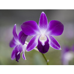 Purple Orchid Fine Art Print by Assaf Frank