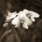 Malaysia, Close-up of Orchid flowers Wall Art & Canvas Prints by Assaf Frank