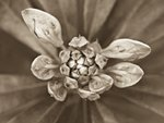 Close-up of flower Wall Art & Canvas Prints by Helen Cordelia Coleman Angell