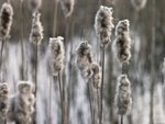 Reeds plants close-up Wall Art & Canvas Prints by Assaf Frank