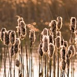 Berkshire, Grasses in field Fine Art Print by Assaf Frank