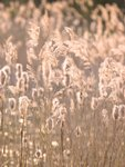 Reeds plants close-up Fine Art Print by Assaf Frank