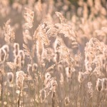 Reeds Back Light Fine Art Print by Assaf Frank