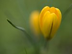 Yellow crocus on colored background, close-up Fine Art Print by Assaf Frank