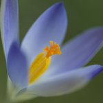 Close-up of purple crocus Fine Art Print by Assaf Frank