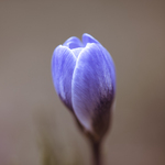 Profile of a Blue Crocus Postcards, Greetings Cards, Art Prints, Canvas, Framed Pictures & Wall Art by Assaf Frank