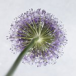 Allium flower, close-up Fine Art Print by Assaf Frank