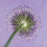 Purple allium flower, close-up Fine Art Print by Assaf Frank