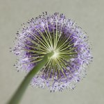 Purple allium flower, close-up Wall Art & Canvas Prints by Assaf Frank