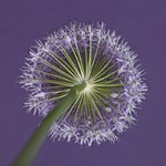 Purple allium flower, close-up Postcards, Greetings Cards, Art Prints, Canvas, Framed Pictures, T-shirts & Wall Art by Assaf Frank