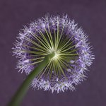 Purple allium flower, close-up